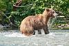 Mom_Twin_Spring_Cubs_Fishing_August_2020_Katmai_Alaska_0016