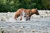 Mom_Twin_Spring_Cubs_Fishing_August_2020_Katmai_Alaska_0017