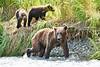 Mom_Twin_Spring_Cubs_Fishing_August_2020_Katmai_Alaska_0013