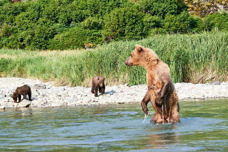 Mom_Twin_Spring_Cubs_Fishing_August_2020_Katmai_Alaska_0001