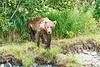 Mom_Twin_Spring_Cubs_Geographic_Harbor_August_2020_Katmai_Alaska_0006