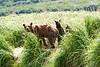 Mom_Twin_Spring_Cubs_Geographic_Harbor_August_2020_Katmai_Alaska_0007