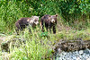Mom_Twin_Spring_Cubs_Geographic_Harbor_August_2020_Katmai_Alaska_0015