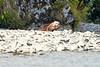 Mom_Twin_Spring_Cubs_Geographic_Harbor_August_2020_Katmai_Alaska_0018