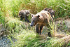 Mom_Twin_Spring_Cubs_Geographic_Harbor_August_2020_Katmai_Alaska_0014