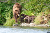 Mom_Twin_Spring_Cubs_Geographic_Harbor_August_2020_Katmai_Alaska_0019