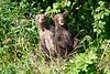 Standing_Brown_Bear_Cubs_August_2020_Katmai_Alaska_0021