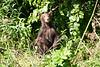 Standing_Brown_Bear_Cubs_August_2020_Katmai_Alaska_0012