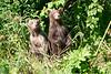 Standing_Brown_Bear_Cubs_August_2020_Katmai_Alaska_0013