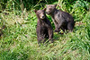 Standing_Brown_Bear_Cubs_August_2020_Katmai_Alaska_0009