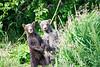 Standing_Brown_Bear_Cubs_August_2020_Katmai_Alaska_0005