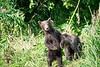 Standing_Brown_Bear_Cubs_August_2020_Katmai_Alaska_0008