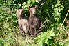 Standing_Brown_Bear_Cubs_August_2020_Katmai_Alaska_0014