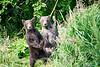 Standing_Brown_Bear_Cubs_August_2020_Katmai_Alaska_0052