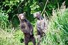 Standing_Brown_Bear_Cubs_August_2020_Katmai_Alaska_0004