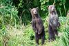 Standing_Brown_Bear_Cubs_August_2020_Katmai_Alaska_0050