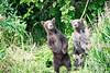 Standing_Brown_Bear_Cubs_August_2020_Katmai_Alaska_0002