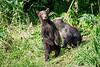 Standing_Brown_Bear_Cubs_August_2020_Katmai_Alaska_0010
