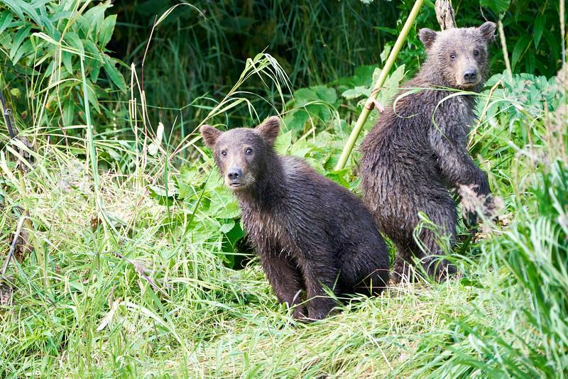 Standing_Brown_Bear_Cubs_August_2020_Katmai_Alaska_0049