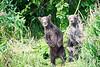 Standing_Brown_Bear_Cubs_August_2020_Katmai_Alaska_0051