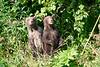 Standing_Brown_Bear_Cubs_August_2020_Katmai_Alaska_0023