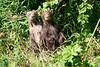 Standing_Brown_Bear_Cubs_August_2020_Katmai_Alaska_0015