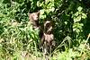 Standing_Brown_Bear_Cubs_August_2020_Katmai_Alaska_0011