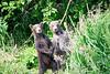Standing_Brown_Bear_Cubs_August_2020_Katmai_Alaska_0006