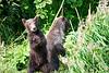 Standing_Brown_Bear_Cubs_August_2020_Katmai_Alaska_0007