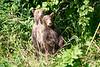 Standing_Brown_Bear_Cubs_August_2020_Katmai_Alaska_0016
