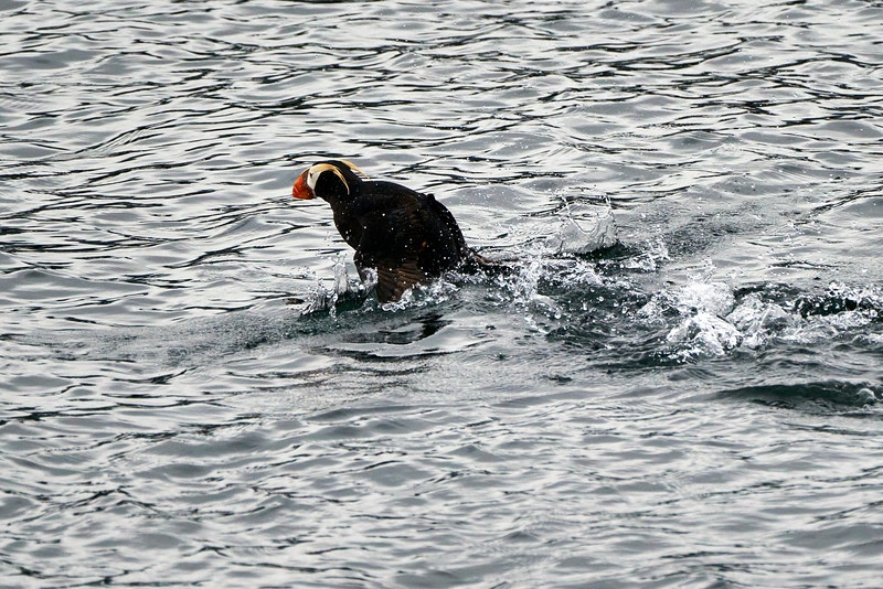 Flying_Tufted_Puffin_August_2020_Kodiak_Alaska_0048