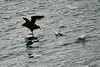 Flying_Tufted_Puffin_August_2020_Kodiak_Alaska_0050