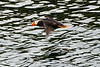 Flying_Tufted_Puffin_August_2020_Kodiak_Alaska_0054