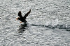 Flying_Tufted_Puffin_August_2020_Kodiak_Alaska_0049
