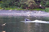 Lunge_Feeding_Humpback_Whale_August_2020_Kodiak_Alaska_0009