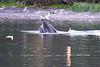 Lunge_Feeding_Humpback_Whale_August_2020_Kodiak_Alaska_0007