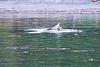 Lunge_Feeding_Humpback_Whale_August_2020_Kodiak_Alaska_0004