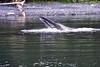 Lunge_Feeding_Humpback_Whale_August_2020_Kodiak_Alaska_0015