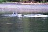 Lunge_Feeding_Humpback_Whale_August_2020_Kodiak_Alaska_0005