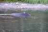 Lunge_Feeding_Humpback_Whale_August_2020_Kodiak_Alaska_0018