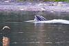 Lunge_Feeding_Humpback_Whale_August_2020_Kodiak_Alaska_0008