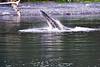 Lunge_Feeding_Humpback_Whale_August_2020_Kodiak_Alaska_0014