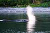 Lunge_Feeding_Humpback_Whale_August_2020_Kodiak_Alaska_0011