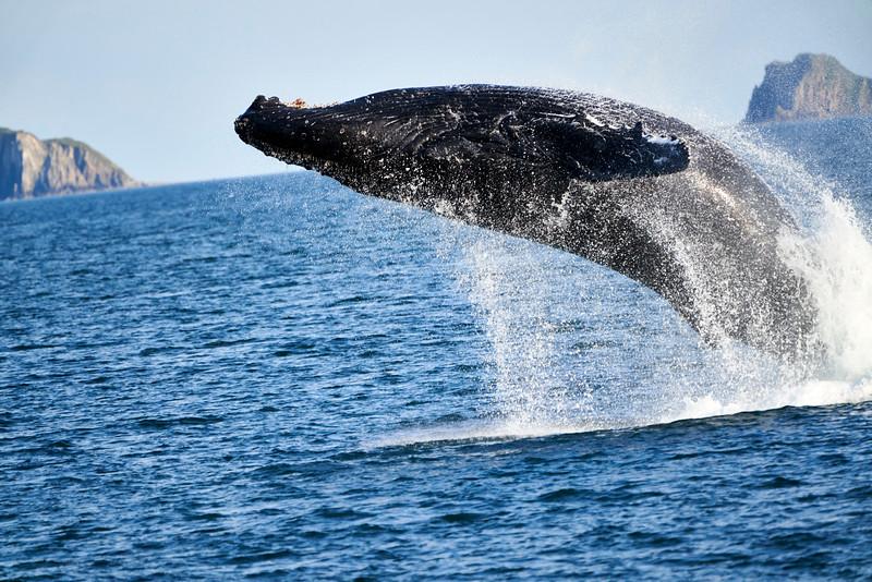 Breaching_Humpback_Whale_August_2020_Kodiak_Alaska_0001