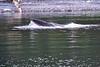 Lunge_Feeding_Humpback_Whale_August_2020_Kodiak_Alaska_0016