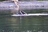 Lunge_Feeding_Humpback_Whale_August_2020_Kodiak_Alaska_0017