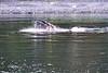 Lunge_Feeding_Humpback_Whale_August_2020_Kodiak_Alaska_0012