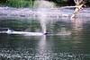 Lunge_Feeding_Humpback_Whale_August_2020_Kodiak_Alaska_0010
