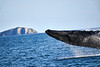 Breaching_Humpback_Whale_August_2020_Kodiak_Alaska_0002