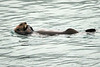 Sea_Otter_August_2020_Kodiak_Alaska_0092